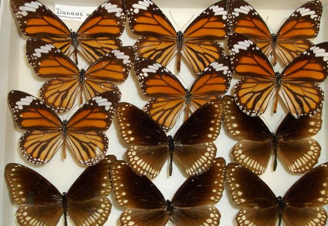 Museum display of butterflies